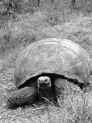 220px-The_Galápagos_tortoise_or_Galápagos_giant_tortoise_(Chelonoidis_nigra)_-_Santa_Cruz_Island