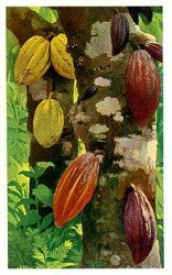 220px-Cacao_pods_-_Project_Gutenberg_eText_16035