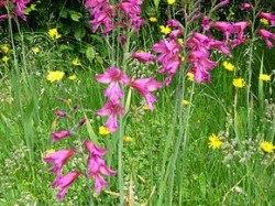 290px-Gladiolus_byzantinus02