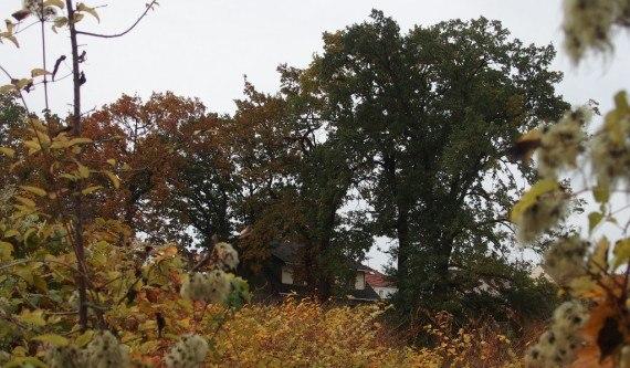 """Chênes anciens retirés de la liste des arbres remarquables sur le terrain dit """"Croix-Blanche"""""""